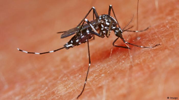 El mosquito tigre, proveniente de Asia y transmisor de varias enfermedades tropicales.