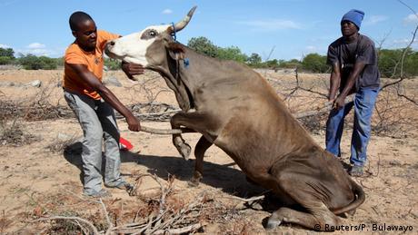Simbabwe Dorfbewohner retten eine Kuh