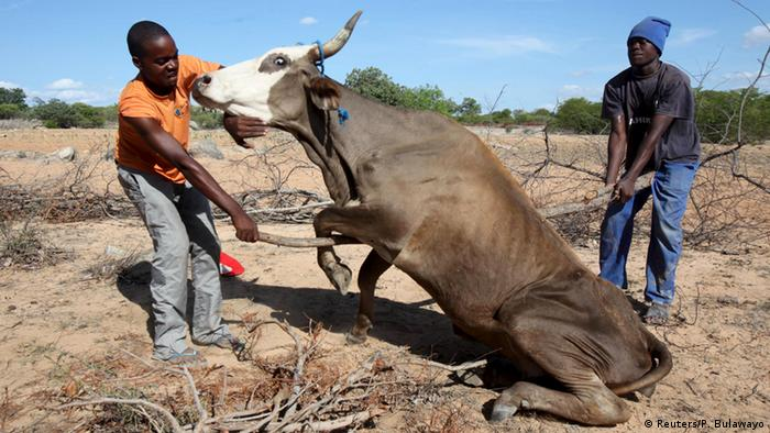 Zimbabwean village tries to lift up his cow