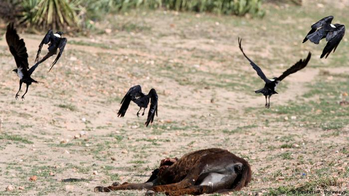 Vultures hover over a dead donkey