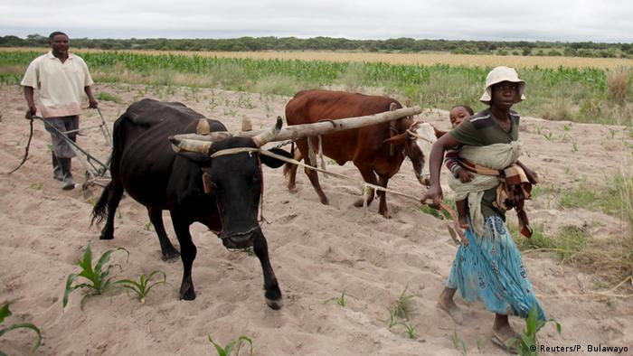 A man and woman ploughing a field in Zimbabwe with a plough pulled by two oxen (Reuters/P. Bulawayo)