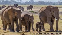 Quelle: https://upload.wikimedia.org/wikipedia/commons/9/93/Herd_of_Elephants.jpg Lizenz: CC BY 2.0/Benh LIEU SONG Herd of bush elephants, in Amboseli national park, south Kenya.