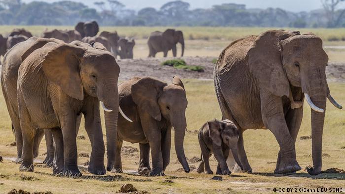 A group of elephants walk through the African plains Photo: Benh Lieu Song