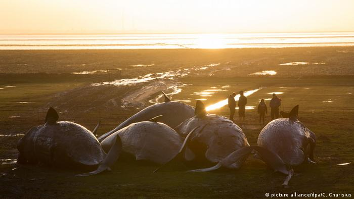 Dead sperm whales on the German Baltic Sea coast in February 2016 (Photo: picture alliance/dpa/C. Charisius)