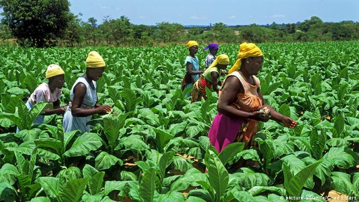 Women work amid rows of tobacco plants on a plantation in Zimbabwe. (Photo: picture-alliance/Chad Ehlers)