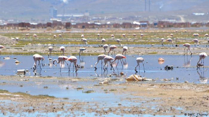 Flamingos feed in a small, trash-filled lagoon near Oruro (Photo: DW/C. Chimoy)