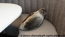 Seelöwenbaby in La Jolla in einem Luxusrestaurant