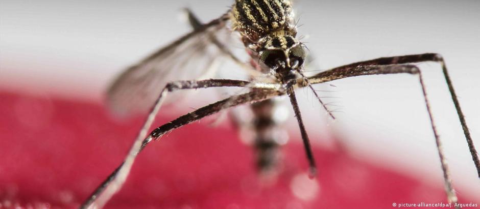 O mosquito aedes aegypti espalha doenças como zika, dengue e febre amarela