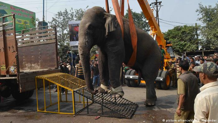 Straps connected to a crane and then wrapped underneath the female elephant before she was lifted onto a truck.