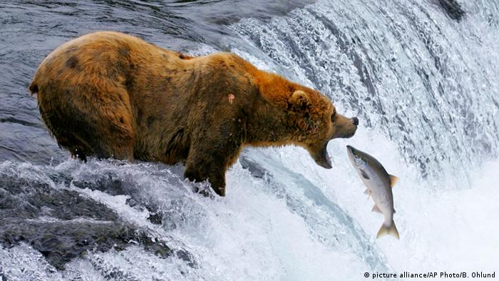 BdW Global Ideas Bild der Woche KW 06/2016 Alaska Katmai Nationalpark