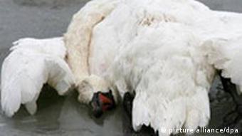 Vogelgrippevirus H5N1 auf Rügen