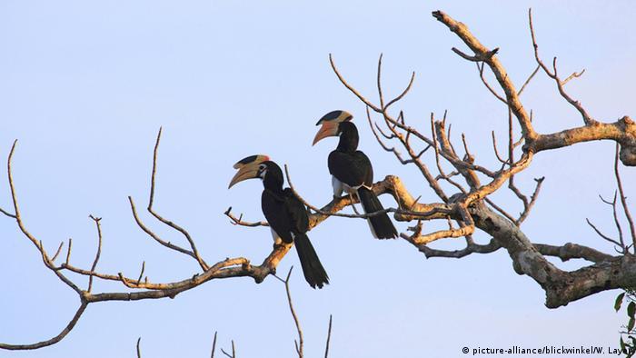 Hornvögel in Sri Lanka