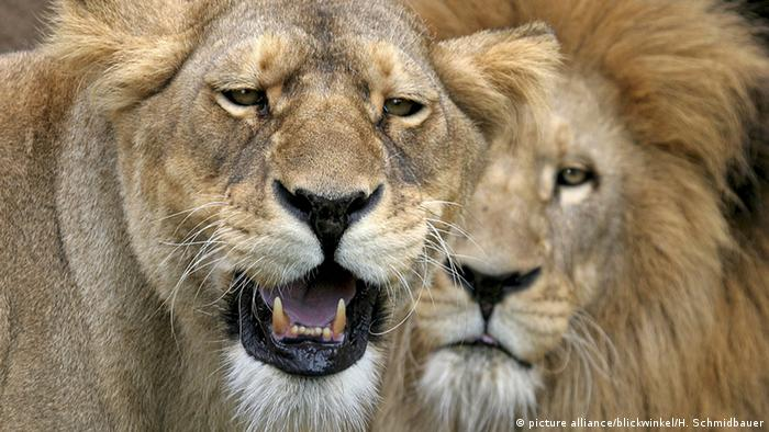 Snarling lioness with male lion behind