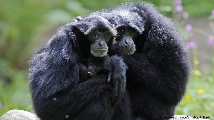 Tierpaare Gibbons