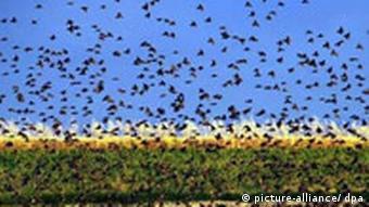 Selon la tradition, le live sert à réveiller les oiseaux au printemps.