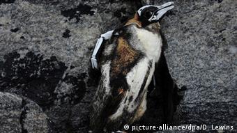 A dead penguin