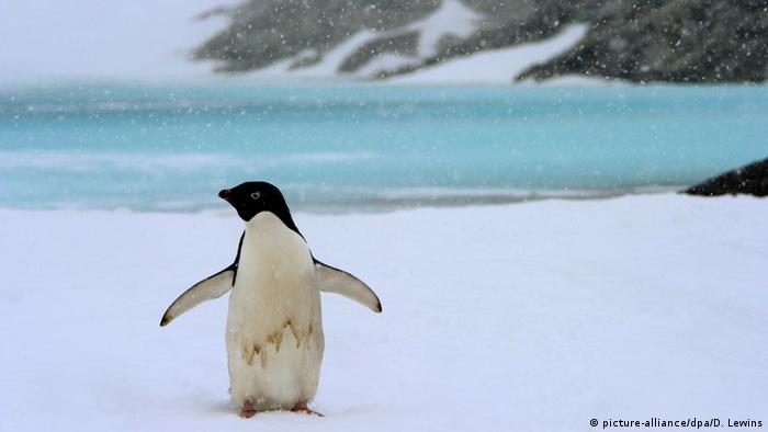 Antarktis Adeliepinguin