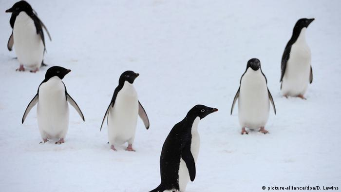 Antarktis Adeliepinguine