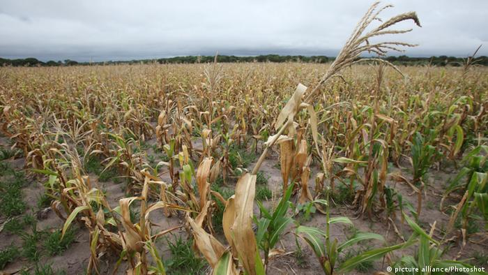 A dry maize field showing the effects of drought