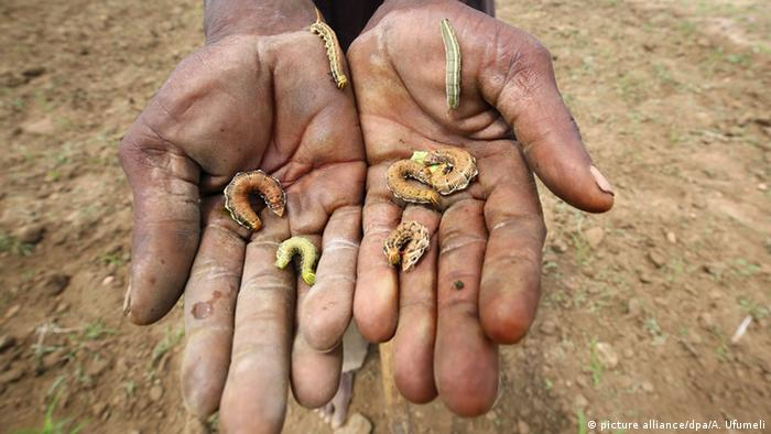 Two hands holding earthworms