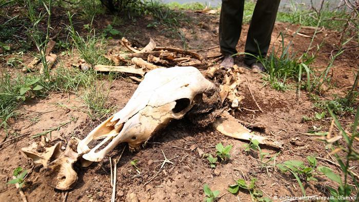 ZImbabwe cattle skull