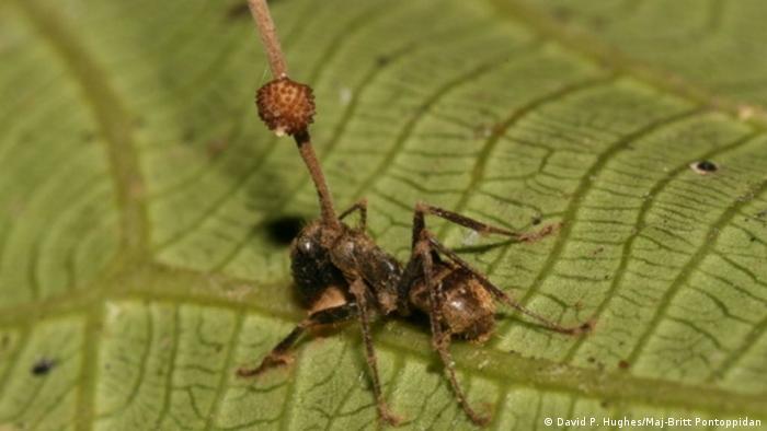 Pilz-Hacking im Ameisenhirn