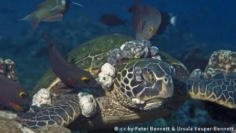 Green sea turtle infected by deadly herpes (Photo: cc-by-Peter Bennett & Ursula Keuper-Bennett)