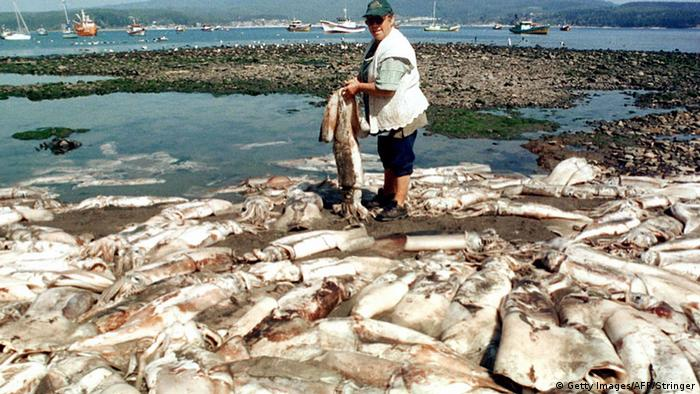 Dead giant squids on Chilean coast, 2016 (Photo: Getty Images/AFP/Stringer)