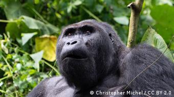 Foto eines Gorillas im Kongo