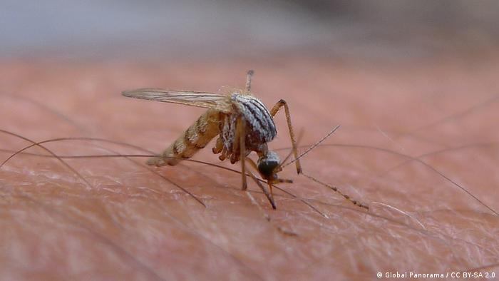 Foto of a mosquito biting a person
