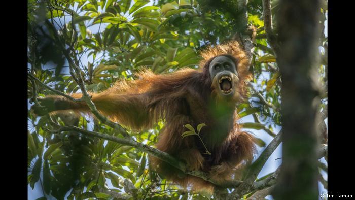 Тим Ламан. Трудные времена для орангутангов
