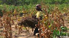 Provinz Inhambane Mosambik Lost Harvest Frau sammelt vertrocknete Erdnussbüsche ein