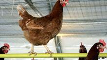Huehner sitzen am Mittwoch, 15. Februar 2006, in einem Stall in Dietramszell. Vom kommenden Freitag an muessen bundesweit Huehner, Gaense, Enten und Puten zum zweiten Mal binnen eines halben Jahres weggesperrt werden. Mit der Stallpflicht wird vor allem den Unternehmen der Gefluegel- und Eierproduktion vorgeschrieben, ihre Tiere unter Daechern zu halten, damit sie nicht von frei lebenden Wildtieren mit Krankheitserregern infiziert werden. (AP Photo/Christof Stache) ---Hens are seen inside a chicken farm in Dietramszell, southern Germany, on Wednesday, Feb. 15, 2006. After two dead swans in northern Germany had been preliminarily tested positive for the deadly H5N1 bird flu strain, agriculture Minister Horst Seehofer on Wednesday urged all farmers to bring their birds inside immediately, if possible, to prevent any contact with migrating fowl. By Friday, all birds will be required by law to be kept indoors. (AP Photo/Christof Stache)
