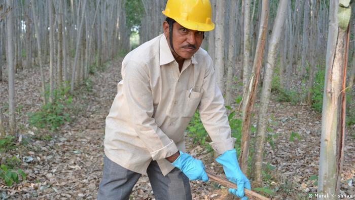 Los eucalipotus son originarios de Australia, pero también se los encuentra en América Latina. Aquí, tala de eucaliptus en India.