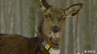 Deer Sex Porn - A doe wearng an ear tag and a collar. \