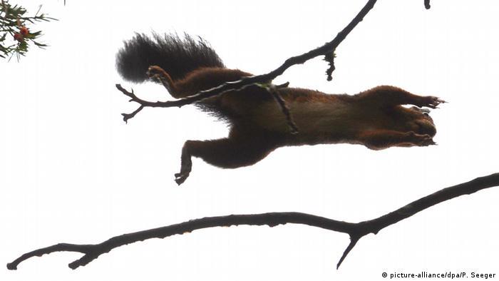 Белка прыгает с ветки на ветку