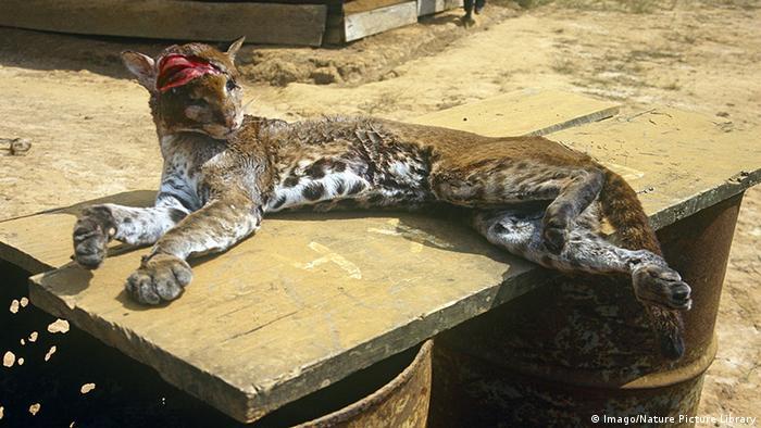مرگ یک گربهسان دیگر با سنگ و چوب گردشگران