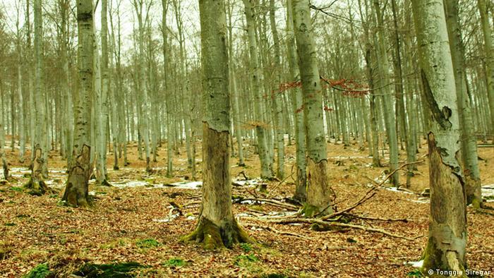 Bäume beschädigt von europäischen Bisons