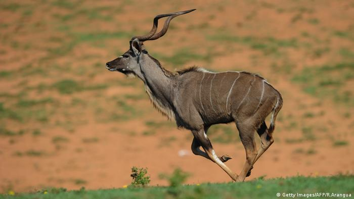 Antilope Kudu Kruger National Park (Getty Images/AFP/R.Arangua)