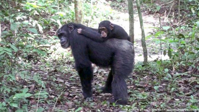 Chimpanzé com filhote