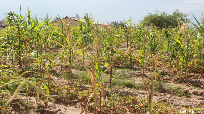 A field of withering maize crops (Garikai Chaunza)
