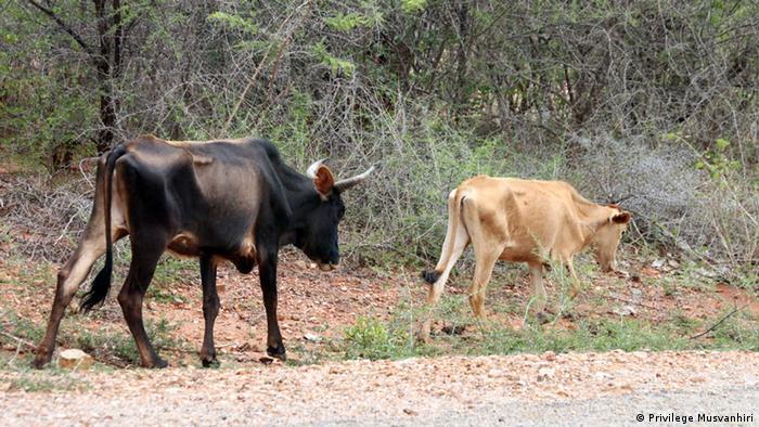 Weak and dead cattle in Zimbabwe's Masvingon Province (Photo: Garikai Chaunza)