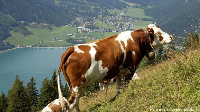 Österreich Pertisau Kühe über Achensee