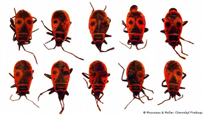 Firebugs collected near Fukushima (Photo: Mousseau & Moller)