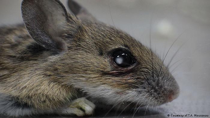 Studie Timothy Mousseau Biologische Effekte von Nuklearkatastophen Maus mit Katarakt