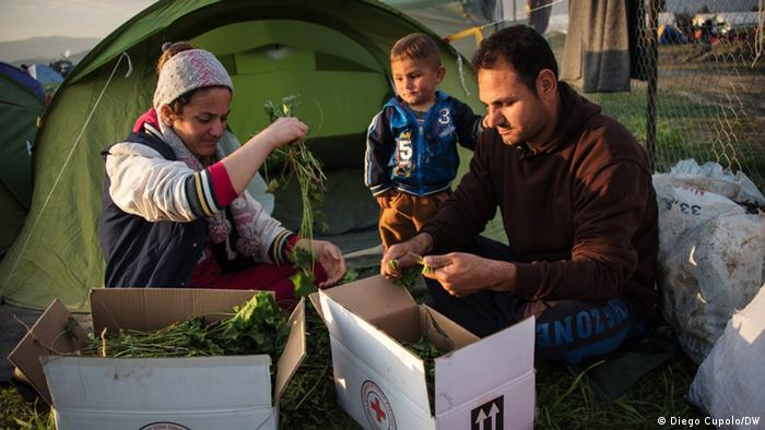 A Yezidi family from Sinjar, Iraq trims greens collected from a nearby forest to avoid long food lines in Idomeni refugee camp