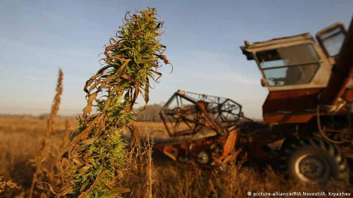 Photo: A harvesting machine in a field with hemp plants (Source: picture-alliance/RIA Novosti/A. Kryazhev)