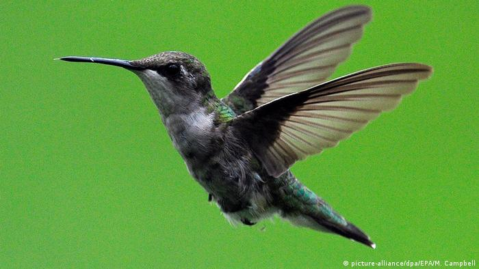 Ruby-throated hummingbird(Archilochus colubris) female (Foto: dpa)