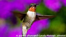 Ruby throated hummingbird (Archilochus colubris) Male hovering near nectar feeder, Canada. (c) picture-alliance/All Canada Photos/D. Johnston