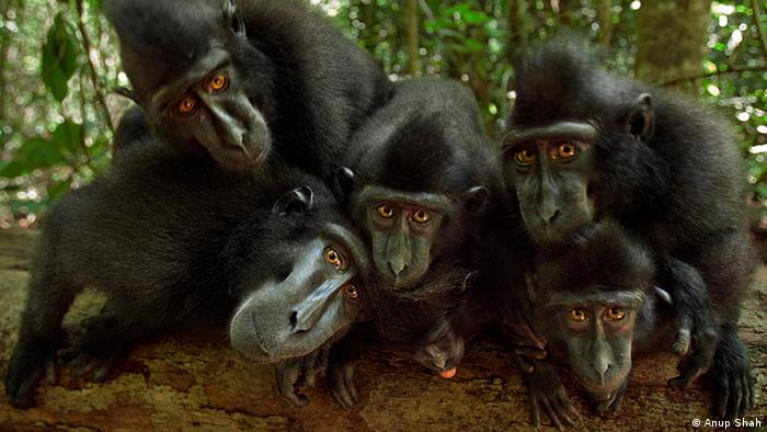 A family of black crested macaques in Tangkoko National Park, Indonesia